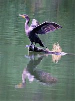 Double-crested Cormorant 1/250 sec. f/5.6 250mm ISO 800