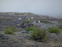 A herd of mountain goats